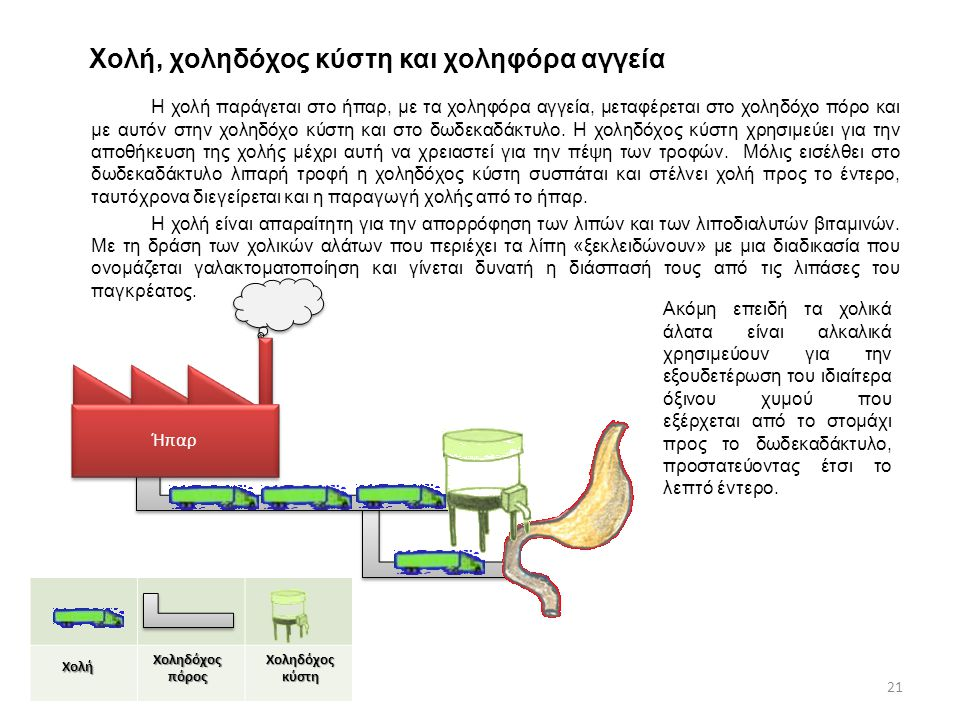 Χολή, χοληδόχος κύστη και χοληφόρα αγγεία Η χολή παράγεται στο ήπαρ, με τα χοληφόρα αγγεία, μεταφέρεται στο χοληδόχο πόρο και με αυτόν στην χοληδόχο κύστη και στο δωδεκαδάκτυλο.