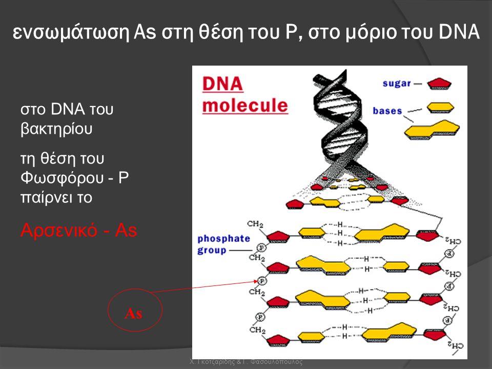 Χ. Γκοτζαρίδης & Γ. Φασουλόπουλος As σ το DNA του βακτ ηρί ο υ τη θέση του Φωσφόρου - Ρ παίρνει το Αρσενικό - Αs ενσωμάτωση Αs στη θέση του Ρ, στο μόρ
