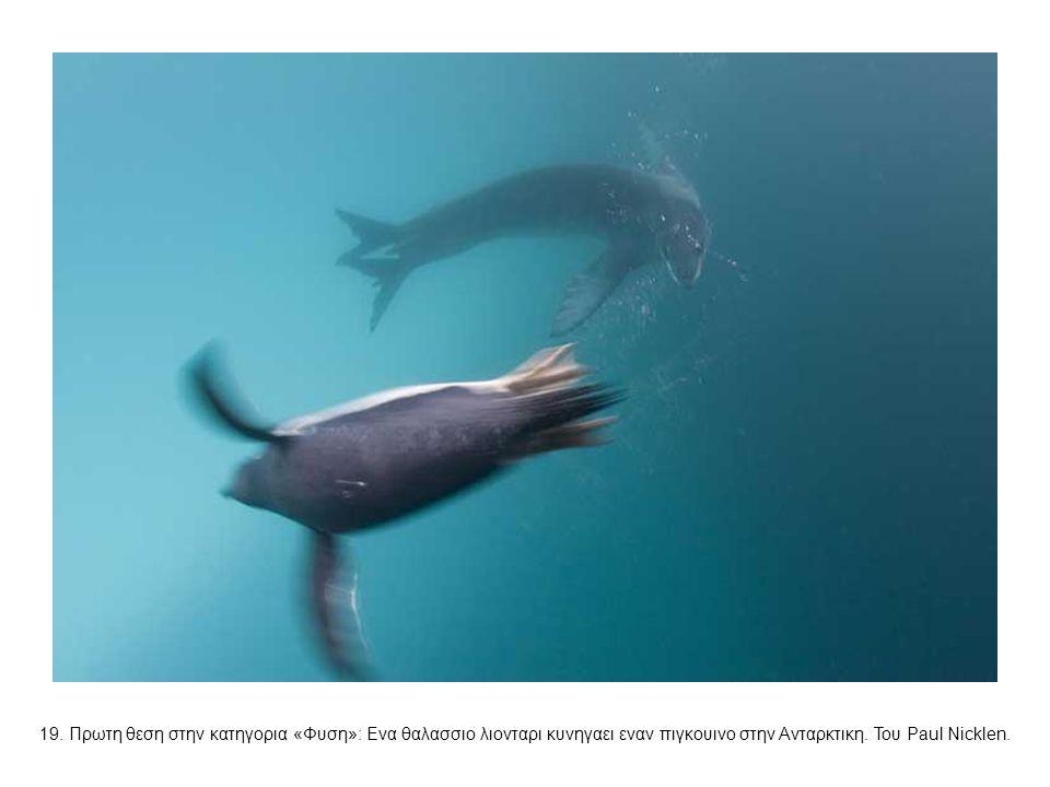 19. Πρωτη θεση στην κατηγορια «Φυση»: Ενα θαλασσιο λιονταρι κυνηγαει εναν πιγκουινο στην Ανταρκτικη. Του Paul Nicklen.
