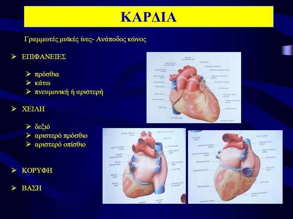 ΚΑΡΔΙΑ Γραμμωτές μυϊκές ίνες- Ανάποδος κώνος  ΕΠΙΦΑΝΕΙΕΣ  πρόσθια  κάτω  πνευμονική ή αριστερή  ΧΕΙΛΗ  δεξιό  αριστερό πρόσθιο  αριστερό οπίσθιο  ΚΟΡΥΦΗ  ΒΑΣΗ