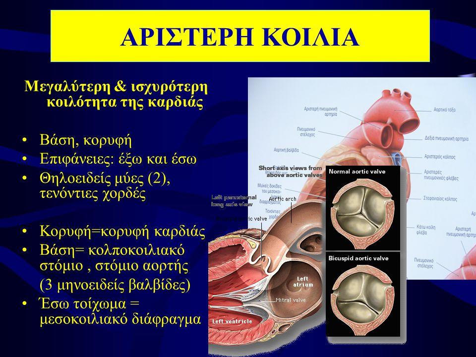 Μεγαλύτερη & ισχυρότερη κοιλότητα της καρδιάς •Βάση, κορυφή •Επιφάνειες: έξω και έσω •Θηλοειδείς μύες (2), τενόντιες χορδές •Κορυφή=κορυφή καρδιάς •Βάση= κολποκοιλιακό στόμιο, στόμιο αορτής (3 μηνοειδείς βαλβίδες) •Έσω τοίχωμα = μεσοκοιλιακό διάφραγμα ΑΡΙΣΤΕΡΗ ΚΟΙΛΙΑ