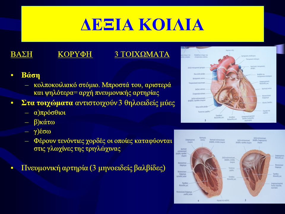 •(ΔΕ) κολποκοιλιακό στόμιο –3 γλωχίνες •(ΑΡ) – 2 γλωχίνες •ΓΛΩΧΙΝΑ –2 επιφάνειες  αξονική  τοιχική - 2 χείλη  προσπεφυκός  ελεύθερο (προσφύονται τενόντιες χορδές) •Αορτή •Πνευμονική αρτηρία –μηνοειδείς βαλβίδες (3) ΚΑΡΔΙΑΚΕΣ ΒΑΛΒΙΔΕΣ Στρέφεται προς τον άξονα ροής του αίματος
