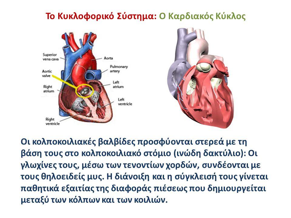 Το Κυκλοφορικό Σύστημα: Ο Καρδιακός Κύκλος Οι κολποκοιλιακές βαλβίδες προσφύονται στερεά με τη βάση τους στο κολποκοιλιακό στόμιο (ινώδη δακτύλιο): Οι