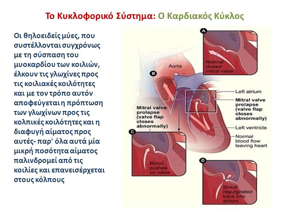 Το Κυκλοφορικό Σύστημα: Ο Καρδιακός Κύκλος Οι θηλοειδείς μύες, που συστέλλονται συγχρόνως με τη σύσπαση του μυοκαρδίου των κοιλιών, έλκουν τις γλωχίνε