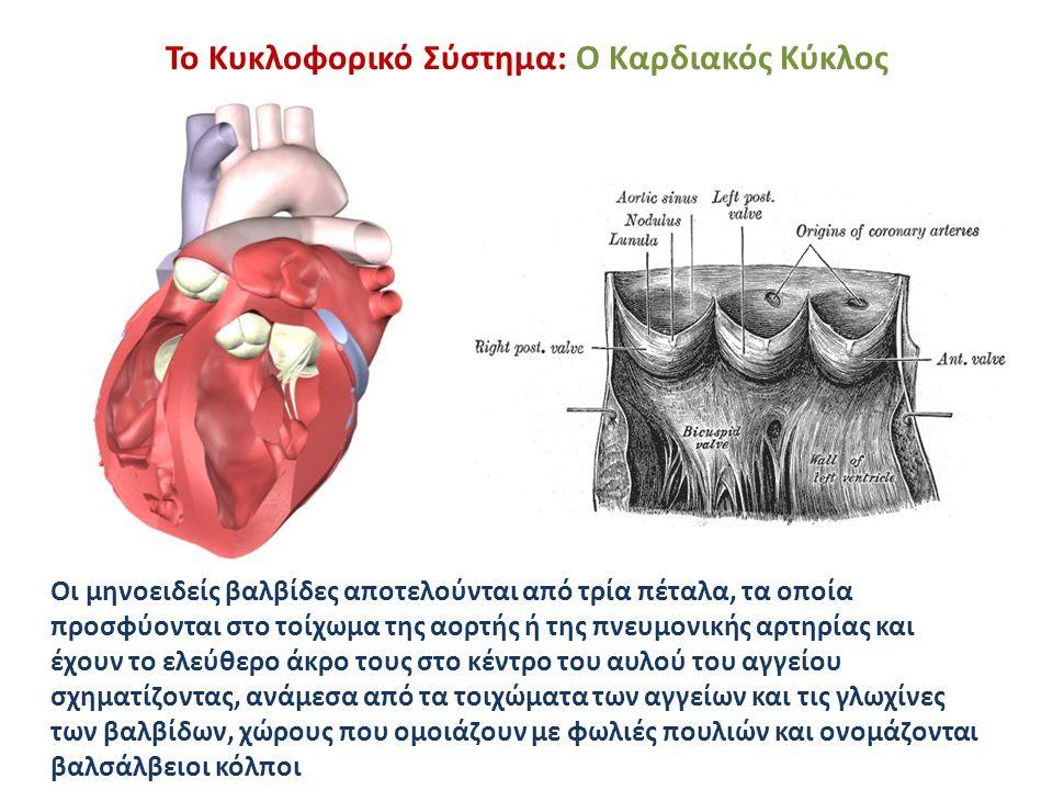 Το Κυκλοφορικό Σύστημα: Ο Καρδιακός Κύκλος Οι μηνοειδείς βαλβίδες αποτελούνται από τρία πέταλα, τα οποία προσφύονται στο τοίχωμα της αορτής ή της πνευ