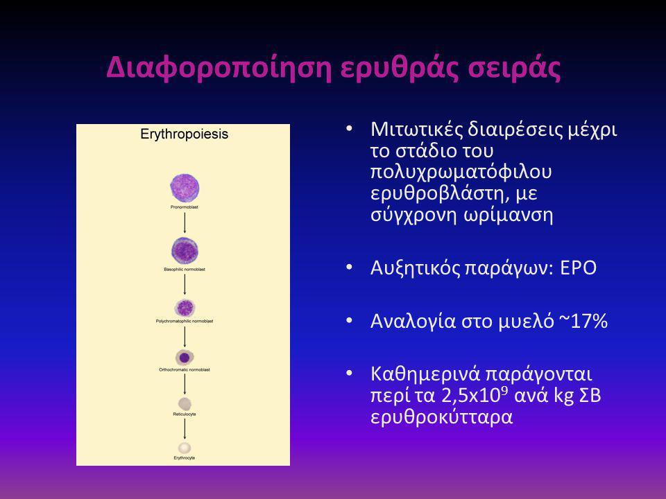 • Μιτωτικές διαιρέσεις μέχρι το στάδιο του πολυχρωματόφιλου ερυθροβλάστη, με σύγχρονη ωρίμανση • Aυξητικός παράγων: ΕPO • Αναλογία στο μυελό ~17% • Καθημερινά παράγονται περί τα 2,5x10 9 ανά kg ΣΒ ερυθροκύτταρα Διαφοροποίηση ερυθράς σειράς