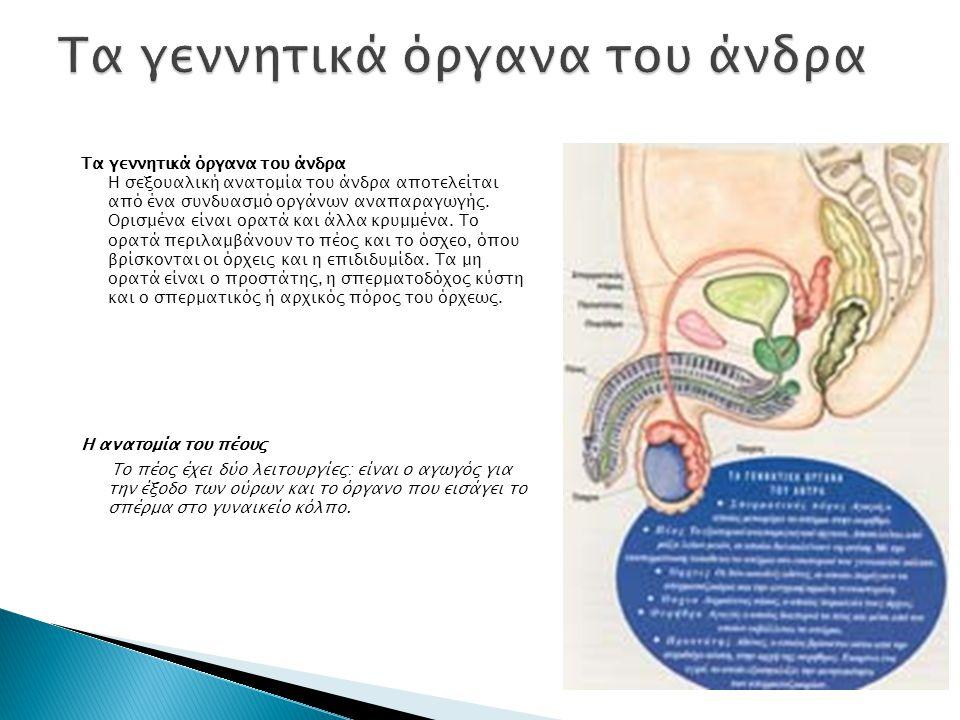 Τα γεννητικά όργανα του άνδρα Η σεξουαλική ανατομία του άνδρα αποτελείται από ένα συνδυασμό οργάνων αναπαραγωγής.