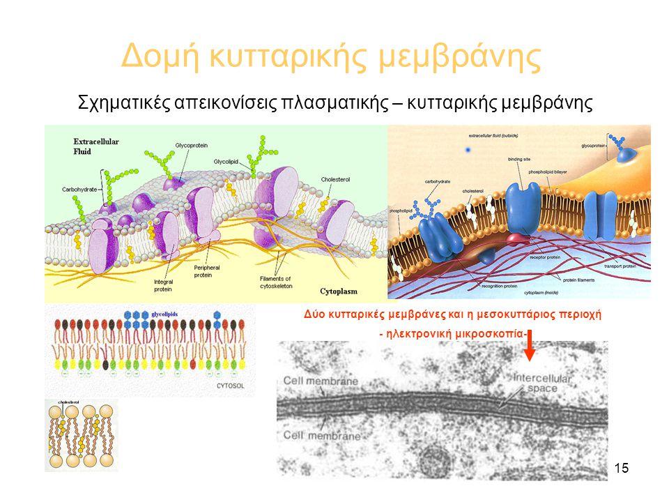 15 Δομή κυτταρικής μεμβράνης Σχηματικές απεικονίσεις πλασματικής – κυτταρικής μεμβράνης Δύο κυτταρικές μεμβράνες και η μεσοκυττάριος περιοχή - ηλεκτρονική μικροσκοπία-