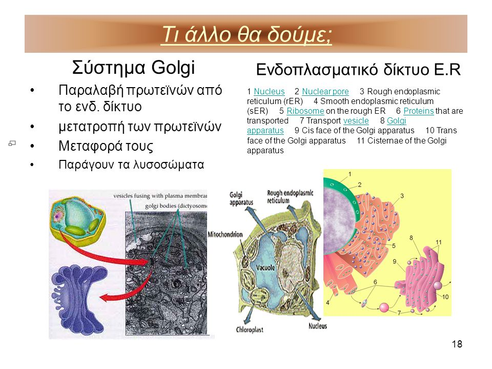 18 Τι άλλο θα δούμε; Σύστημα Golgi •Παραλαβή πρωτεϊνών από το ενδ. δίκτυο •μετατροπή των πρωτεϊνών •Μεταφορά τους •Παράγουν τα λυσοσώματα Ενδοπλασματι
