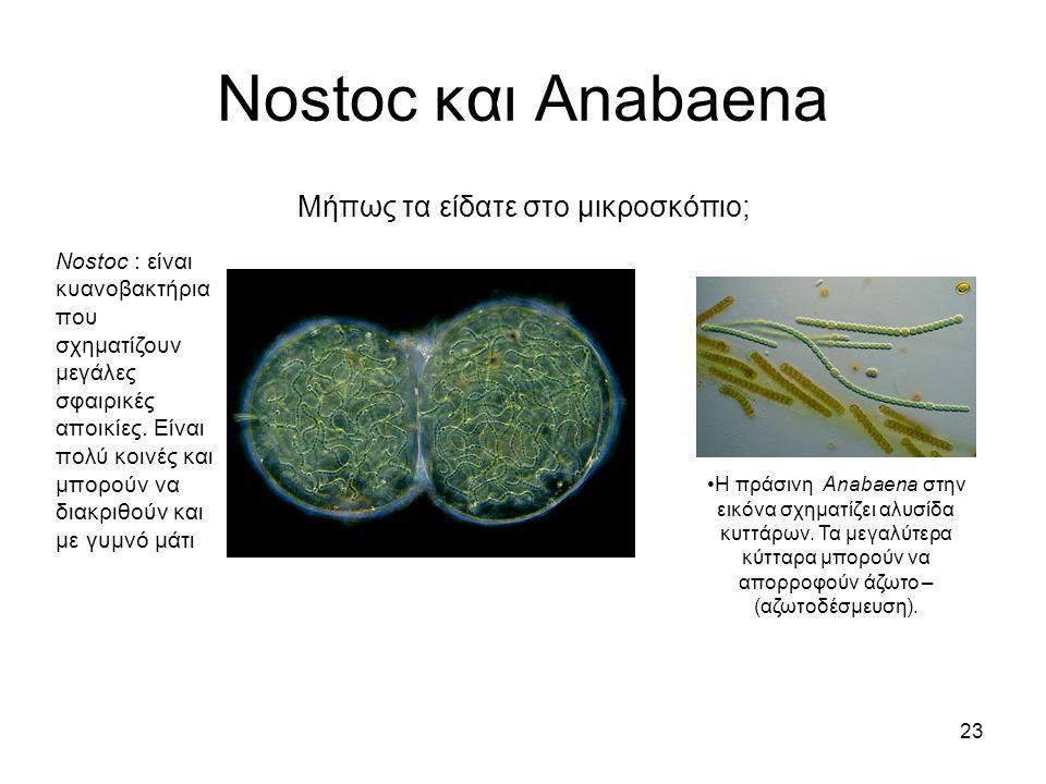23 Nostoc και Anabaena Μήπως τα είδατε στο μικροσκόπιο; Nostoc : είναι κυανοβακτήρια που σχηματίζουν μεγάλες σφαιρικές αποικίες. Είναι πολύ κοινές και