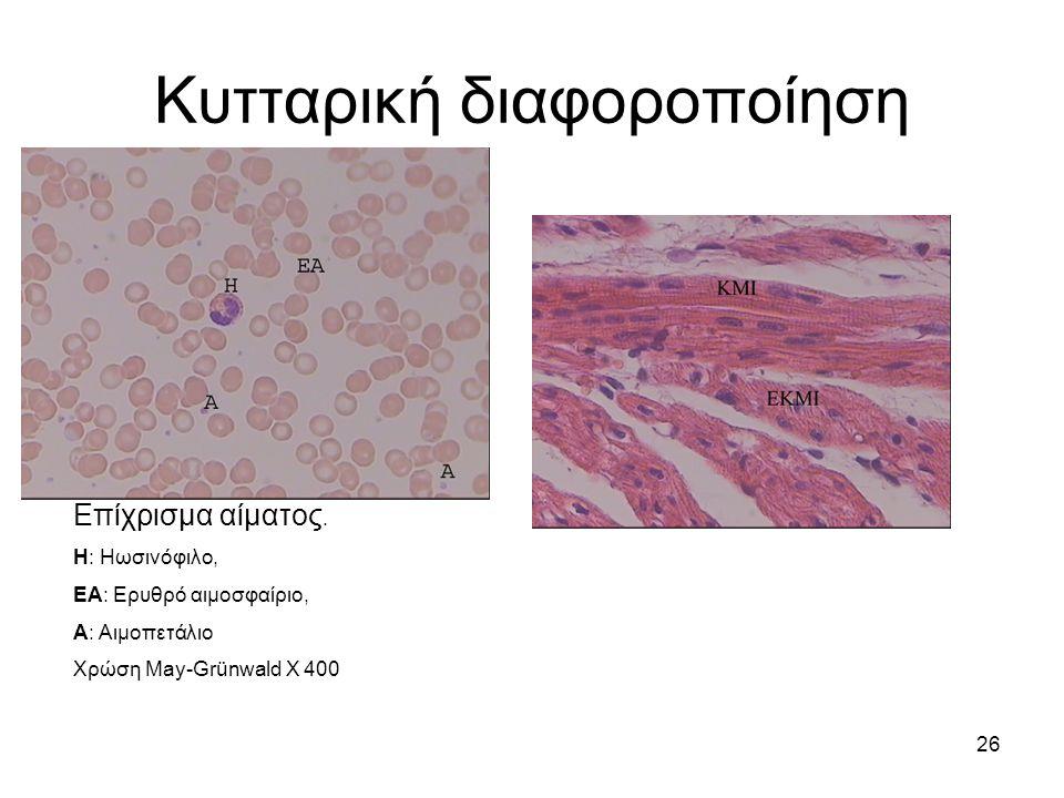 26 Κυτταρική διαφοροποίηση Επίχρισμα αίματος. Η: Ηωσινόφιλο, ΕΑ: Ερυθρό αιμοσφαίριο, Α: Αιμοπετάλιο Χρώση May-Grünwald X 400