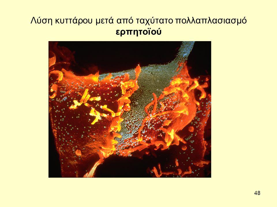 48 Λύση κυττάρου μετά από ταχύτατο πολλαπλασιασμό ερπητοϊού