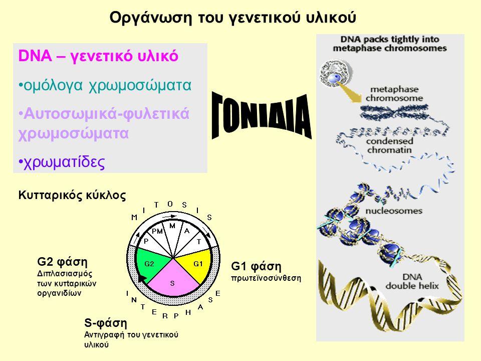 50 Οργάνωση του γενετικού υλικού Κυτταρικός κύκλος DNA – γενετικό υλικό •ομόλογα χρωμοσώματα •Αυτοσωμικά-φυλετικά χρωμοσώματα •χρωματίδες G1 φάση πρωτεϊνοσύνθεση S-φάση Αντιγραφή του γενετικού υλικού G2 φάση Διπλασιασμός των κυτtαρικών οργανιδίων
