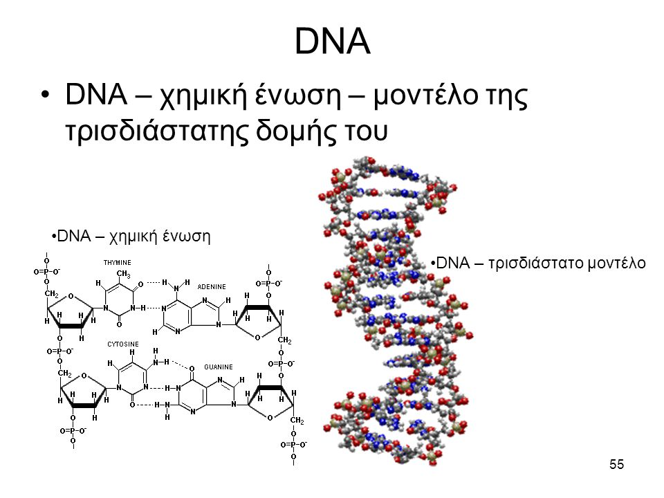 55 DNA •DNA – χημική ένωση •DNA – χημική ένωση – μοντέλο της τρισδιάστατης δομής του •DNA – τρισδιάστατο μοντέλο