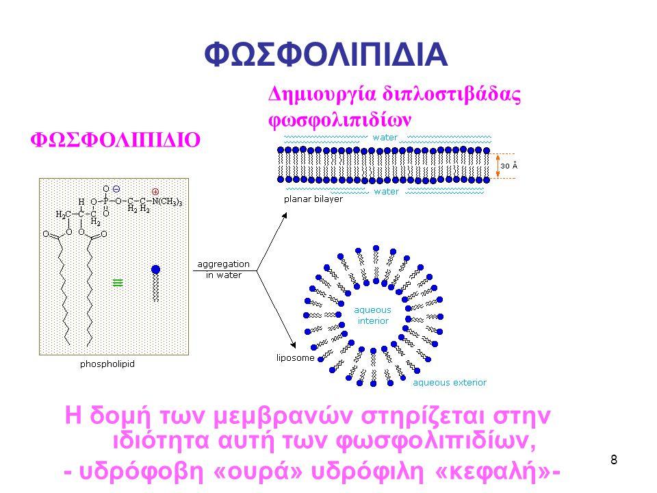 8 ΦΩΣΦΟΛΙΠΙΔΙΑ ΦΩΣΦΟΛΙΠΙΔΙΟ Δημιουργία διπλοστιβάδας φωσφολιπιδίων Η δομή των μεμβρανών στηρίζεται στην ιδιότητα αυτή των φωσφολιπιδίων, - υδρόφοβη «ουρά» υδρόφιλη «κεφαλή»-