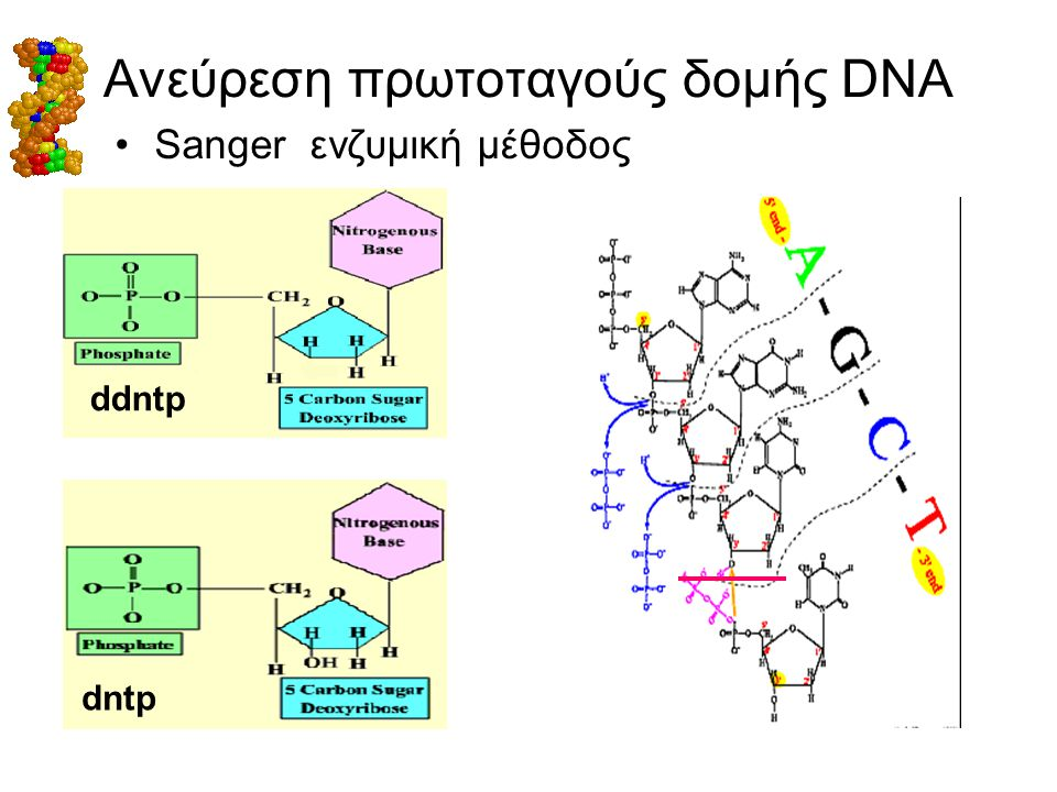 Ανεύρεση πρωτοταγούς δομής DNA •Sanger ενζυμική μέθοδος ddntp dntp