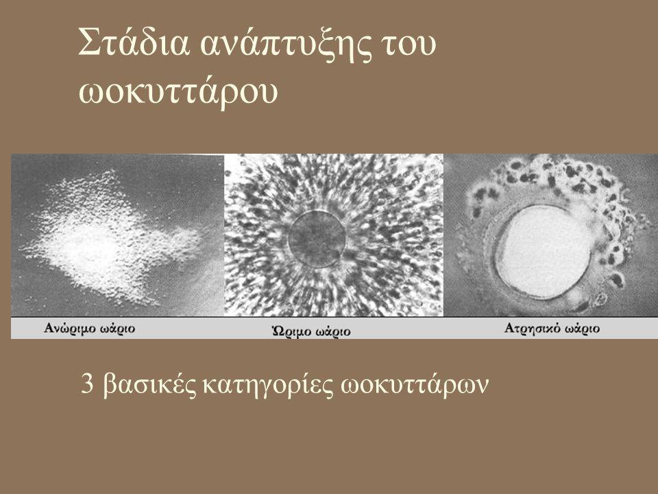 Στάδια ανάπτυξης του ωοκυττάρου 3 βασικές κατηγορίες ωοκυττάρων