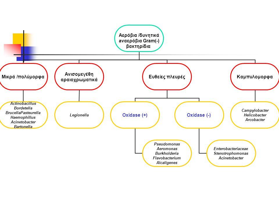 Αερόβια /δυνητικά aναερόβια Gram(-) βακτηρίδια Μικρά /πολύμορφα Actinobacillus Bordetella BrucellaPasteurella Haemophillus Acinetobacter Bartonella Ανισομεγέθη αραιοχρωματικά Legionella Ευθείες πλευρές Oxidase (+) Pseudomonas Aeromonas Burkholderia Flavobacterium Alcaligenes Oxidase (-) Enterobacteriaceae Stenotrophomonas Acinetobacter Καμπυλομορφα Campylobacter Helicobacter Arcobacter