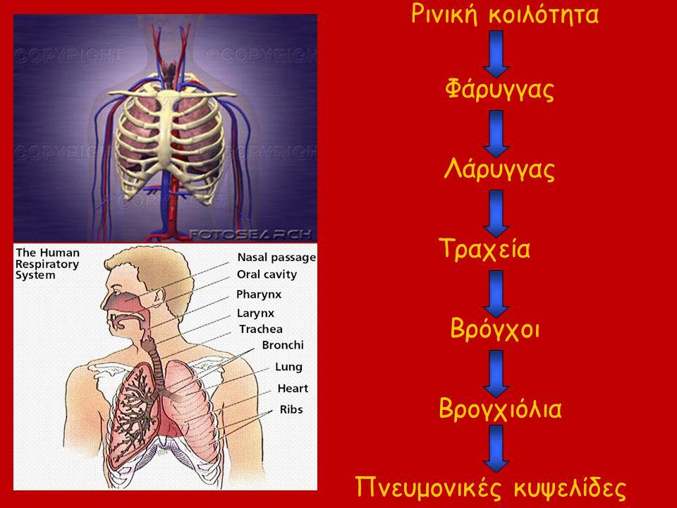 Ρινική κοιλότητα Φάρυγγας Λάρυγγας Τραχεία Βρόγχοι Βρογχιόλια Πνευμονικές κυψελίδες