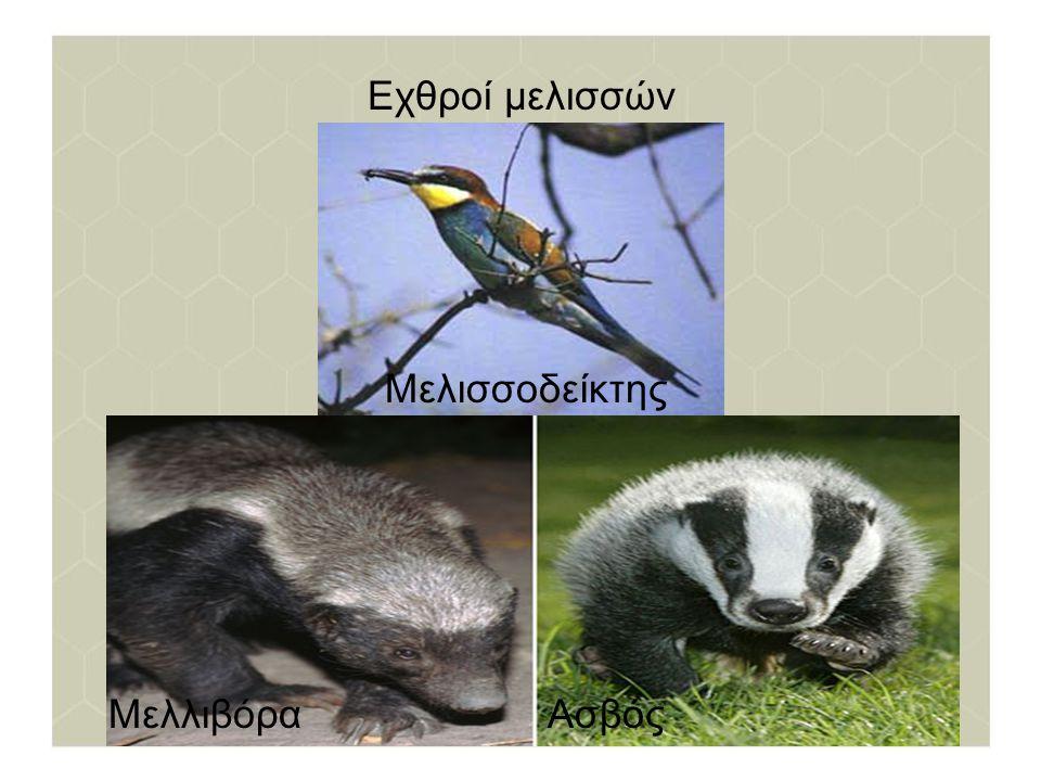 Εχθροί μελισσών Μελισσοδείκτης ΜελλιβόραΑσβός