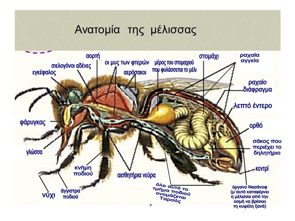 Ανατομία της μέλισσας