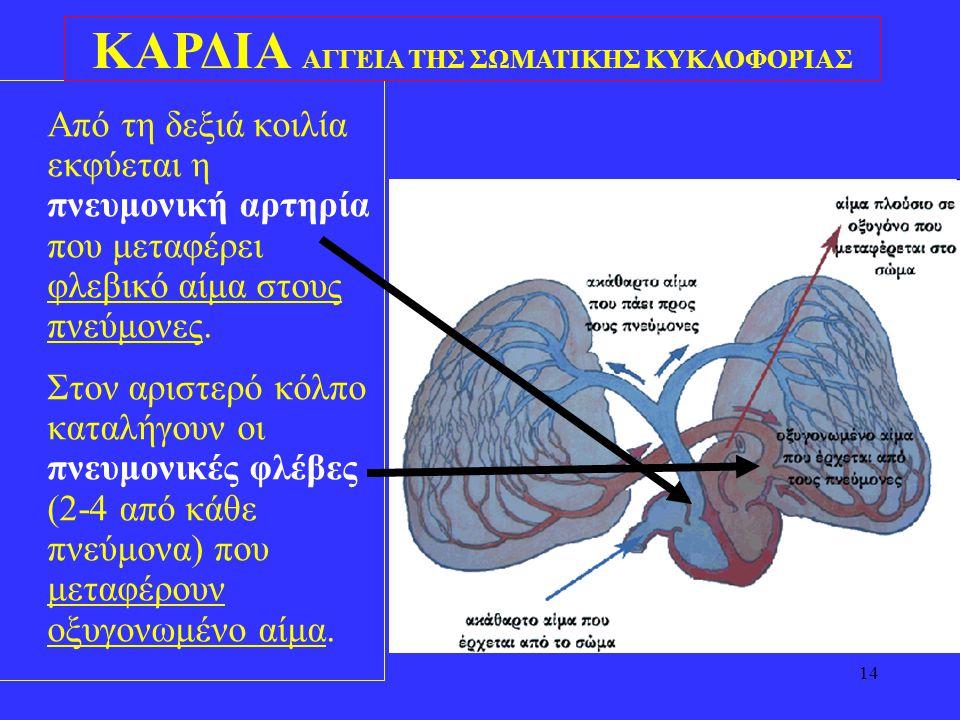 14 •Από τη δεξιά κοιλία εκφύεται η πνευμονική αρτηρία που μεταφέρει φλεβικό αίμα στους πνεύμονες. •Στον αριστερό κόλπο καταλήγουν οι πνευμονικές φλέβε