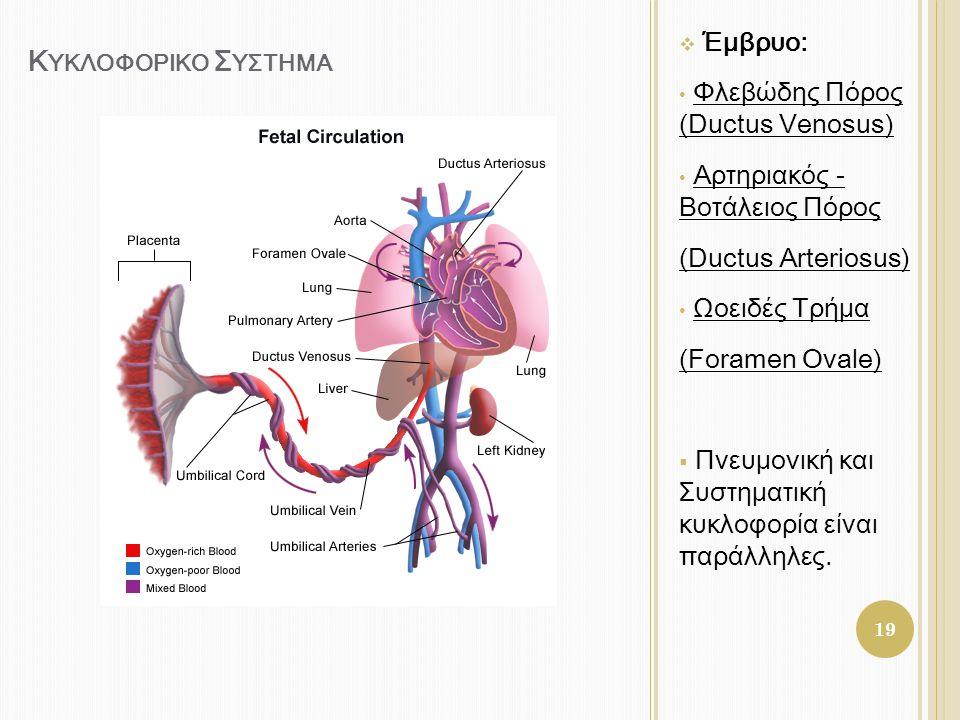 Κ ΥΚΛΟΦΟΡΙΚΟ Σ ΥΣΤΗΜΑ  Έμβρυο: • Φλεβώδης Πόρος (Ductus Venosus) • Αρτηριακός - Βοτάλειος Πόρος (Ductus Arteriosus) • Ωοειδές Τρήμα (Foramen Ovale) 