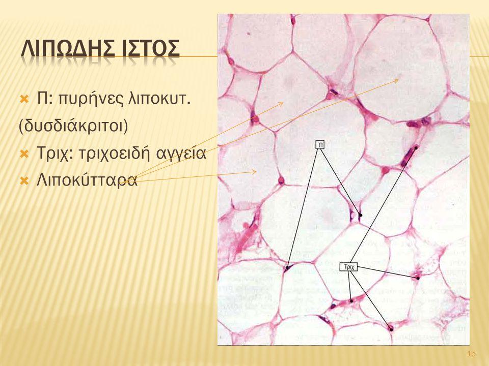 15  Π: πυρήνες λιποκυτ. (δυσδιάκριτοι)  Τριχ: τριχοειδή αγγεία  Λιποκύτταρα