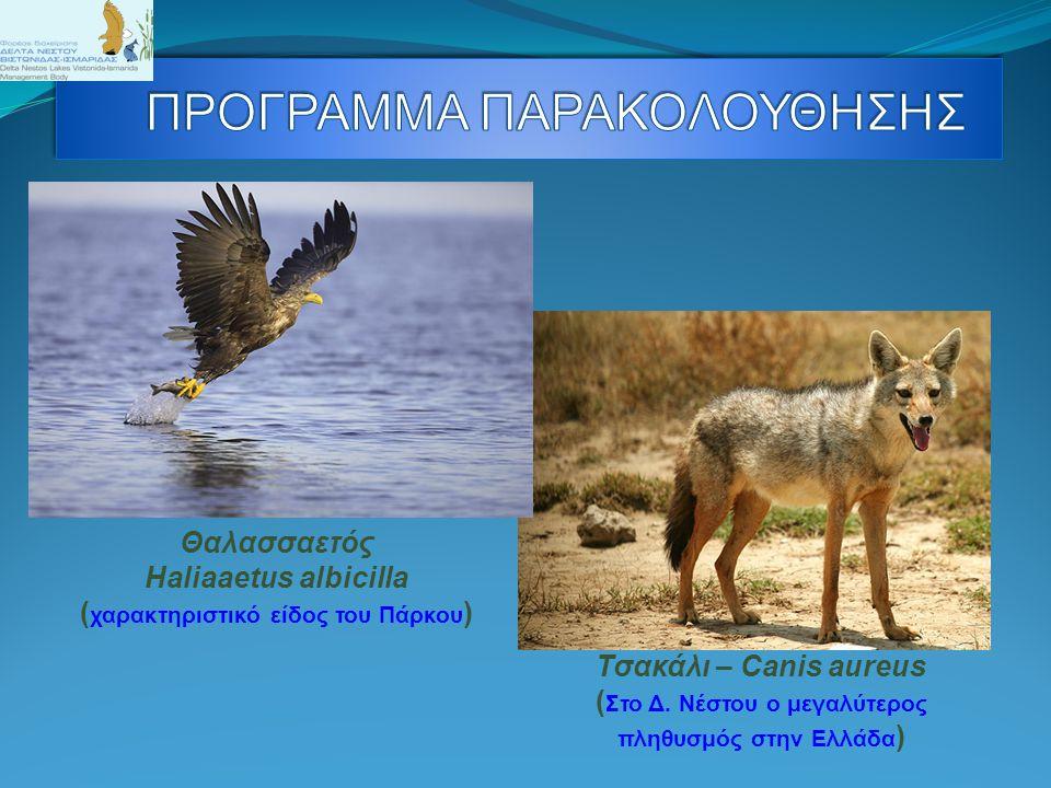 Θαλασσαετός Haliaaetus albicilla ( χαρακτηριστικό είδος του Πάρκου ) Τσακάλι – Canis aureus ( Στο Δ. Νέστου ο μεγαλύτερος πληθυσμός στην Ελλάδα )