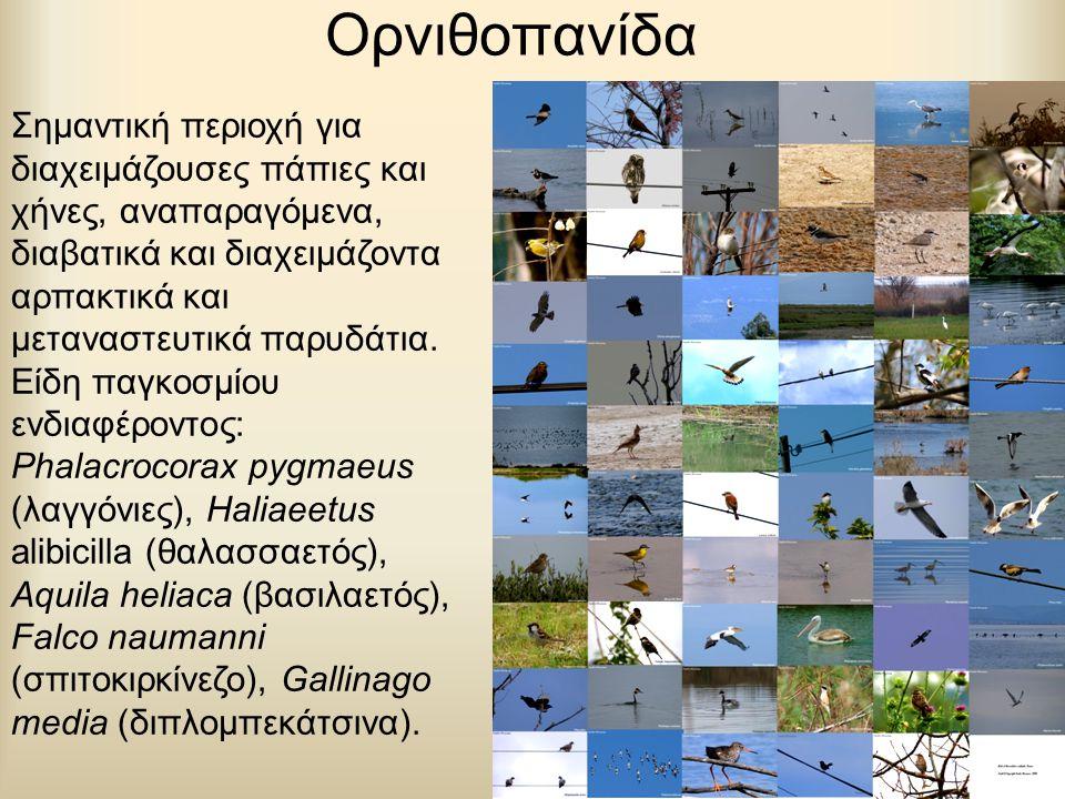 Ορνιθοπανίδα Σημαντική περιοχή για διαχειμάζουσες πάπιες και χήνες, αναπαραγόμενα, διαβατικά και διαχειμάζοντα αρπακτικά και μεταναστευτικά παρυδάτια.