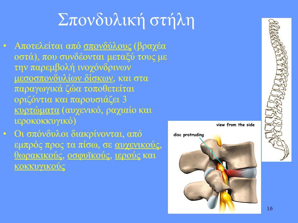 16 Σπονδυλική στήλη •Αποτελείται από σπονδύλους (βραχέα οστά), που συνδέονται μεταξύ τους με την παρεμβολή ινοχόνδρινων μεσοσπονδυλίων δίσκων, και στα