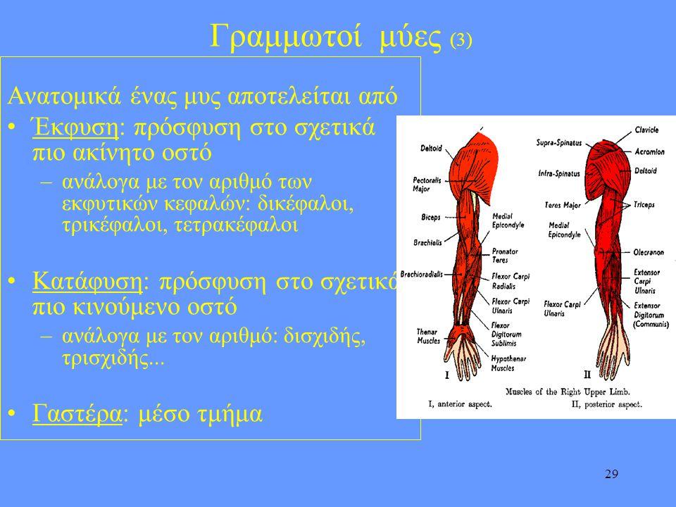 29 Γραμμωτοί μύες (3) Ανατομικά ένας μυς αποτελείται από •Έκφυση: πρόσφυση στο σχετικά πιο ακίνητο οστό –ανάλογα με τον αριθμό των εκφυτικών κεφαλών: