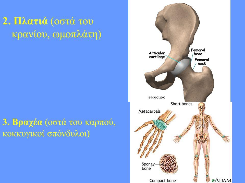 5 2. Πλατιά (οστά του κρανίου, ωμοπλάτη) 3. Βραχέα (οστά του καρπού, κοκκυγικοί σπόνδυλοι)