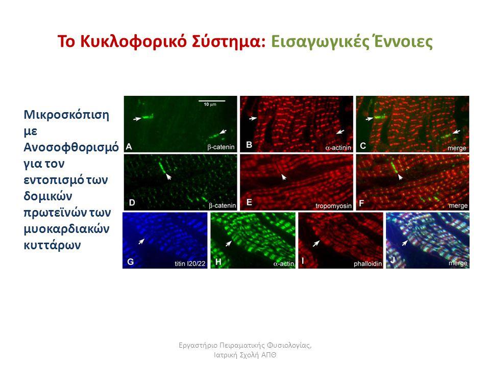 Εργαστήριο Πειραματικής Φυσιολογίας, Ιατρική Σχολή ΑΠΘ Το Κυκλοφορικό Σύστημα: Εισαγωγικές Έννοιες Μικροσκόπιση με Ανοσοφθορισμό για τον εντοπισμό των δομικών πρωτεϊνών των μυοκαρδιακών κυττάρων