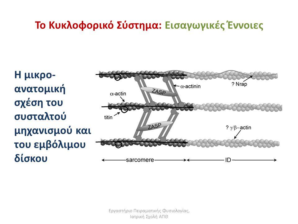 Εργαστήριο Πειραματικής Φυσιολογίας, Ιατρική Σχολή ΑΠΘ Το Κυκλοφορικό Σύστημα: Εισαγωγικές Έννοιες Η μικρο- ανατομική σχέση του συσταλτού μηχανισμού κ
