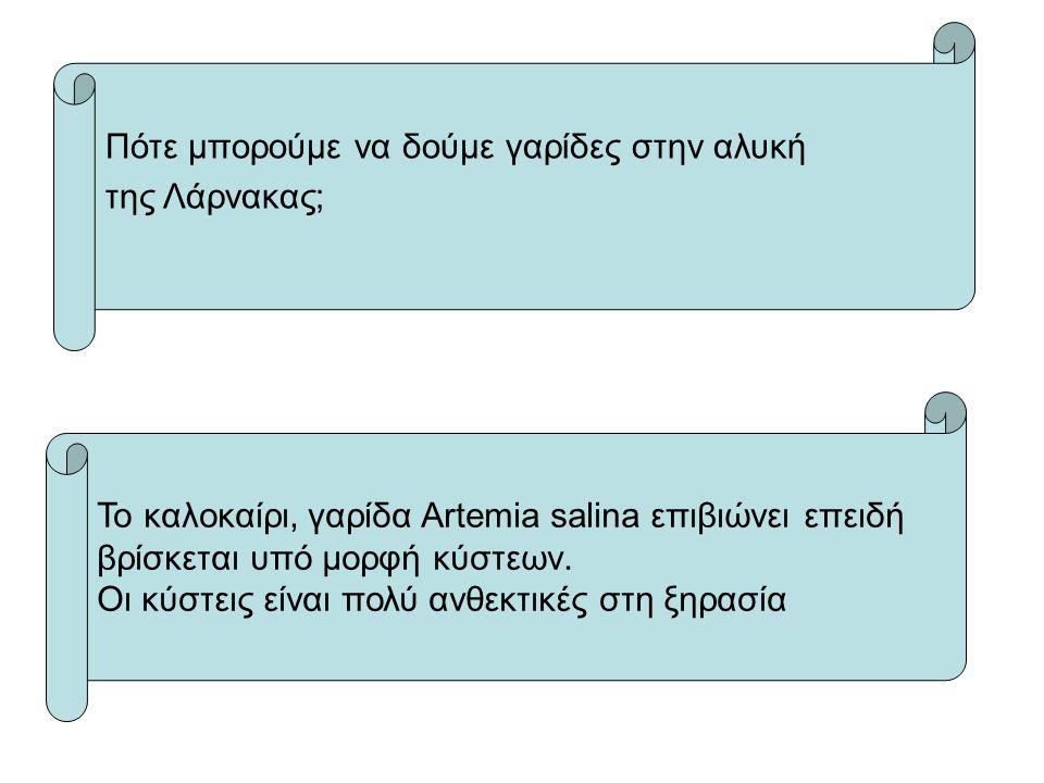 Πότε μπορούμε να δούμε γαρίδες στην αλυκή της Λάρνακας; To καλοκαίρι, γαρίδα Artemia salina επιβιώνει επειδή βρίσκεται υπό μορφή κύστεων.