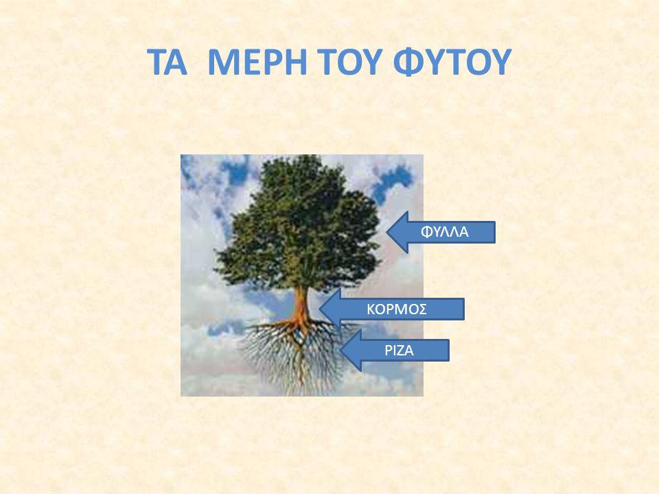 Στα φύλλα το φυτό «μαγειρεύει» την τροφή που χρειάζεται. Χρησιμοποιεί το φως του ήλιου, τον αέρα και το νερό. Η έτοιμη τροφή μεταφέρεται από το βλαστό