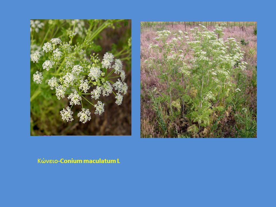 Κώνειο-Conium maculatum L