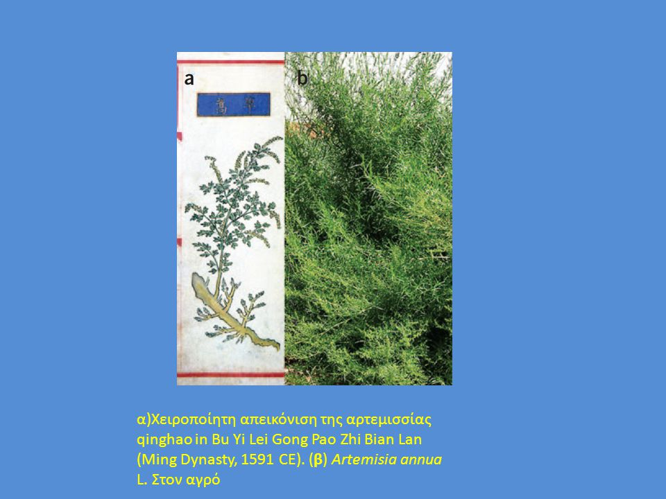 Artemisia annua L. α)Χειροποίητη απεικόνιση της αρτεμισσίας qinghao in Bu Yi Lei Gong Pao Zhi Bian Lan (Ming Dynasty, 1591 CE). (β) Artemisia annua L.