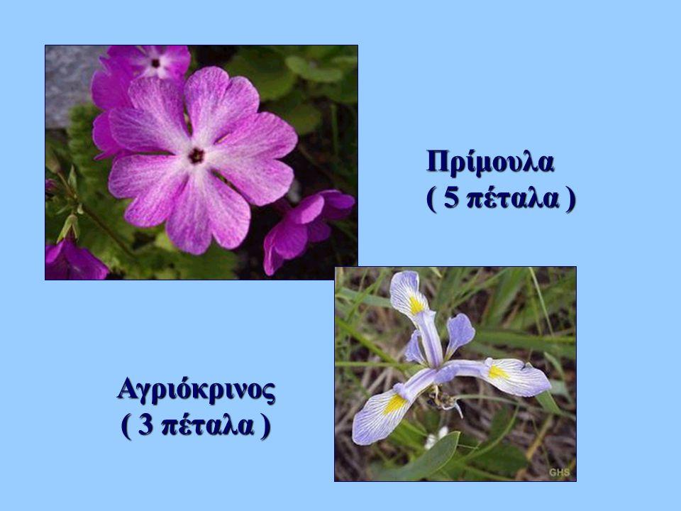 Πρίμουλα ( 5 πέταλα ) Αγριόκρινος ( 3 πέταλα )