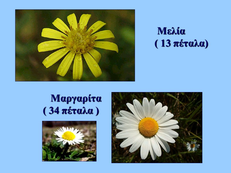 Μελία Μελία ( 13 πέταλα) Μαργαρίτα Μαργαρίτα ( 34 πέταλα )