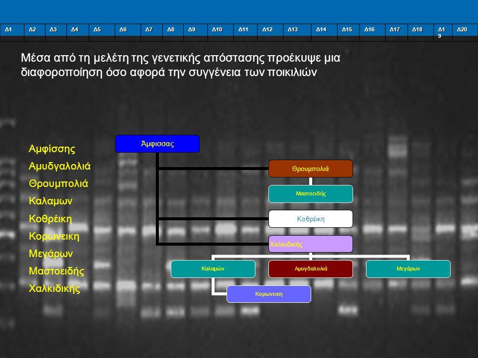 Δ1Δ2Δ3Δ4Δ5Δ6Δ7Δ8Δ9Δ10Δ11Δ12Δ13Δ14Δ15Δ16Δ17Δ18 Δ1 9 Δ20 Μέσα από τη μελέτη της γενετικής απόστασης προέκυψε μια διαφοροποίηση όσο αφορά την συγγένεια των ποικιλιών Αμφίσσης Αμυδγαλολιά Θρουμπολιά Καλαμων Κοθρέικη Κορωνεικη Μεγάρων Μαστοειδής Χαλκιδικής Άμφισσας Θρουμπολιά Μαστοειδής Κοθρέικη Χαλκιδικής Καλαμών Κορωνεικη ΑμυγδαλολιάΜεγάρων