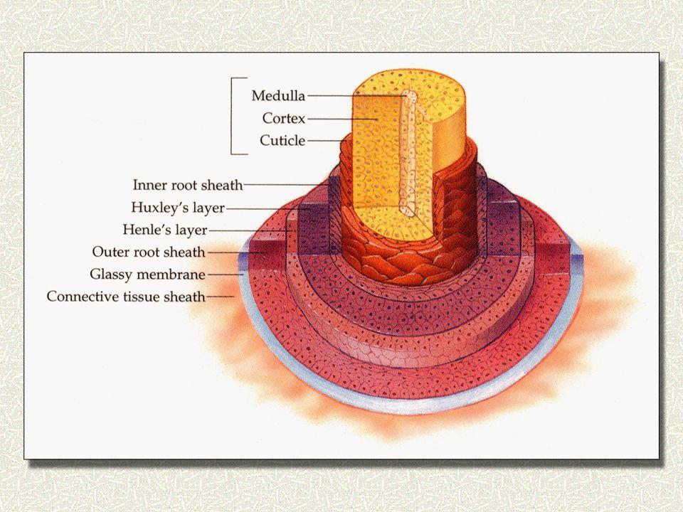 Μελέτη του Στελέχους της τρίχας α) Μελέτη του στελέχους στο κοινό μικροσκόπιο β) Μελέτη του στελέχους στο πολαρομικροσκόπιο Μελέτη του Ελεύθερου Άκρου της τρίχας 1.