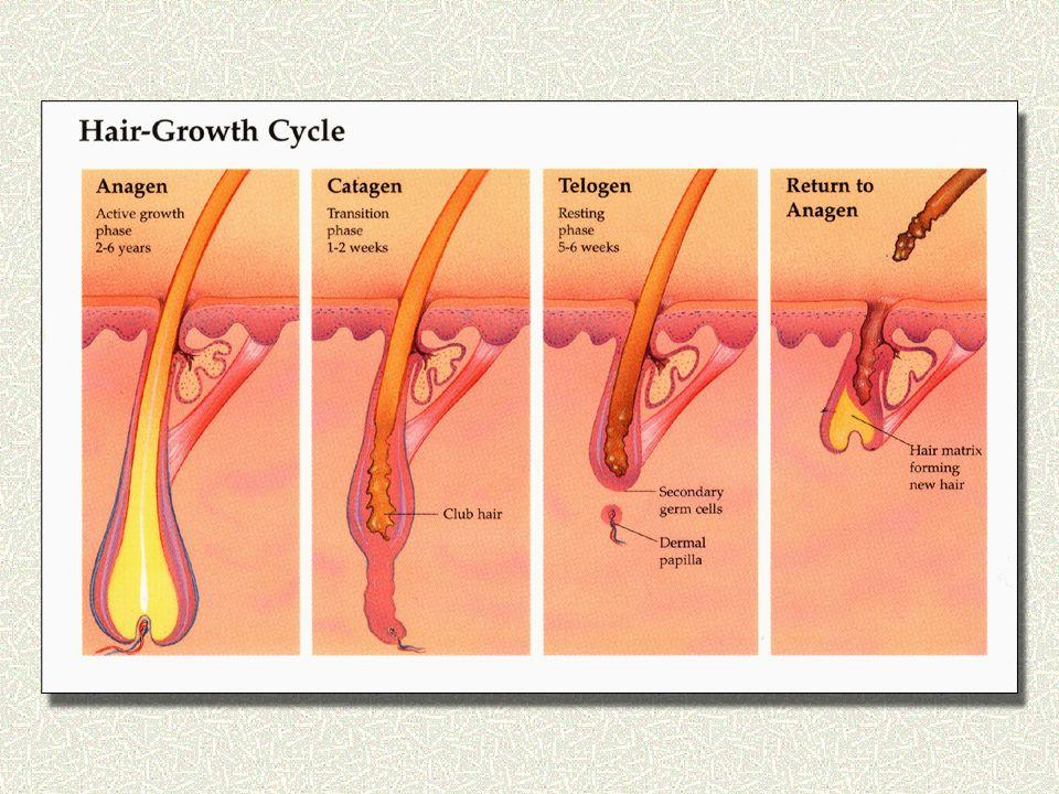 Χρονική διάρκεια των διαφόρων σταδίων του κύκλου Τριχωτό της κεφαλής: αναγενές στάδιο 2-6 χρόνια καταγενές στάδιο 2 εβδομάδες τελογενές στάδιο 3-4 μήνες Άλλες περιοχές: αναγενές από 1-12 μήνες συνήθως Διαφορές στην ανάπτυξη των τριχών ανάλογα με την περιοχή