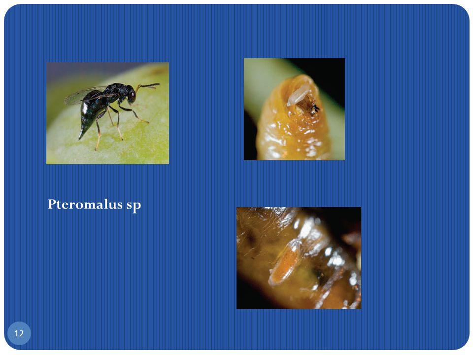 B ιολογικοί εχθροί του Δάκου 11 Pnigalio pectinicornis Ε upelmus urozonus