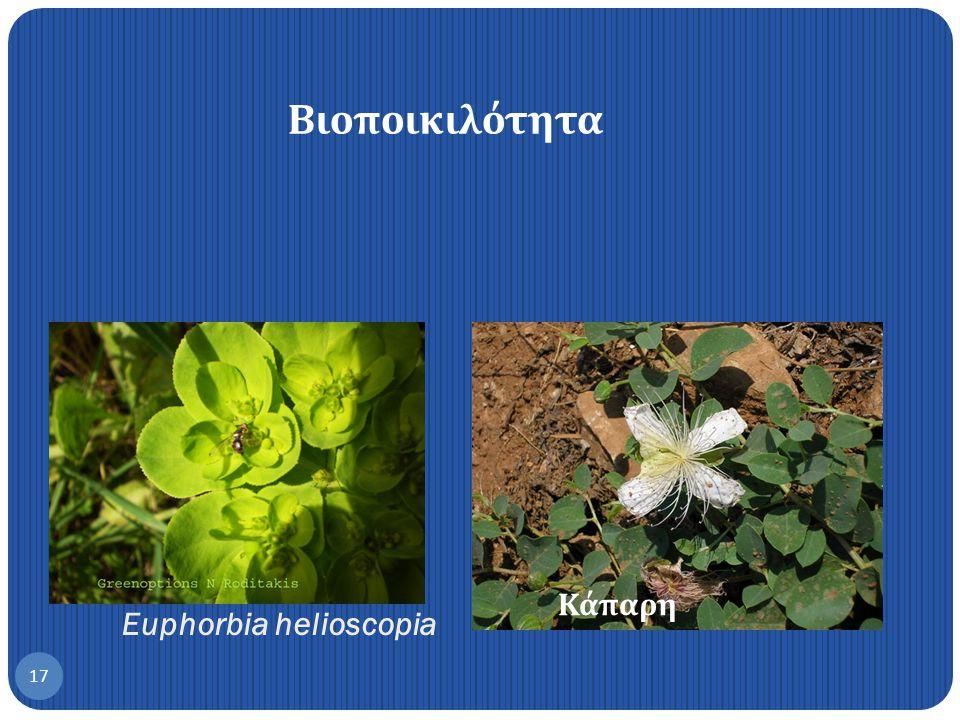 Opius concolor 16