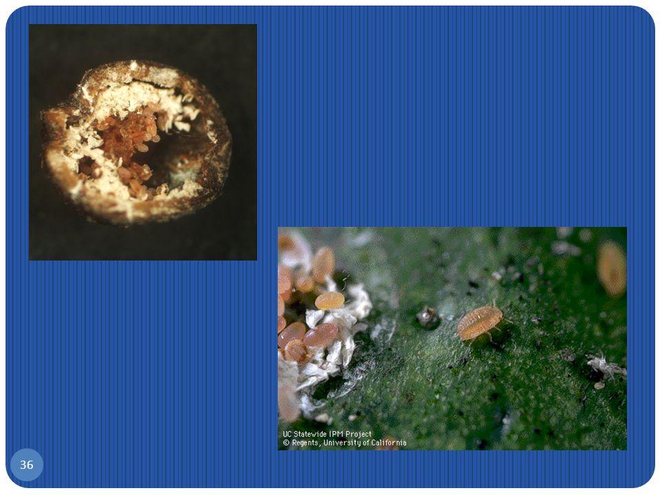 Λεκάνιο της ελιάς, Saissetia oleae 35