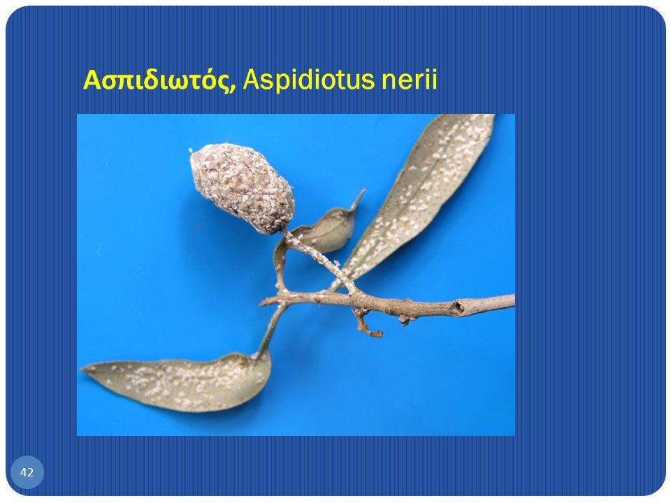 41 Chrysoperla carnea Hemerobius sp