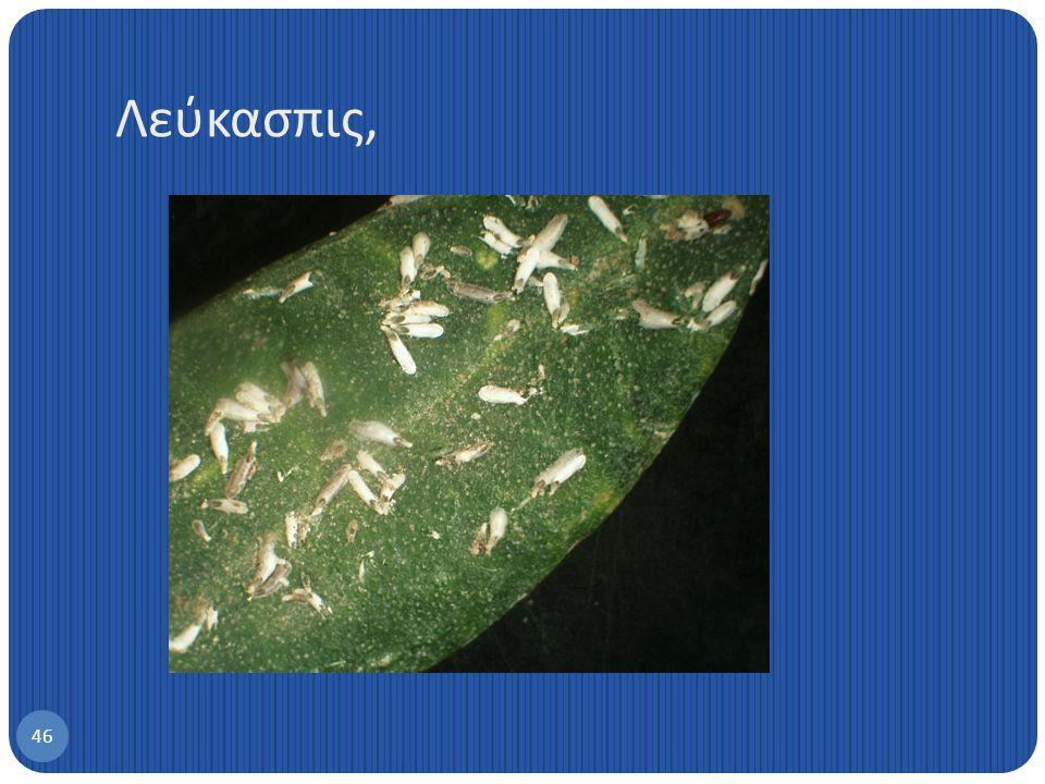 45 Rhyzobius lophanthae