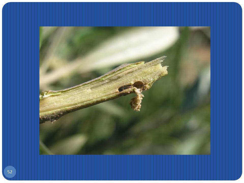 Φλοιοτρίβης, Phloeotribus scarabaeoides 51